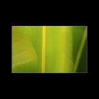3-helle-s-andersen-fritemne_02_ficus_lutea